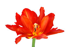 Red tulip. Isolated on white Stock Photo
