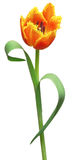 Red tulip is isolated Stock Photos