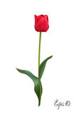 Red Tulip isolated on white background close up. Photo-realistic mesh vector illustration. Pink Tulips isolated on white background close up. Photo-realistic Stock Images