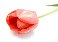 Red tulip isolated on white background Stock Photos
