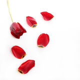 Red tulip with loose petals Stock Image