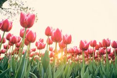 Red tulip at low angles against the setting sun. 。Flowers in spring stock image
