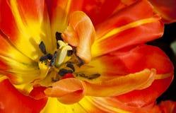 Red tulip macro Royalty Free Stock Image