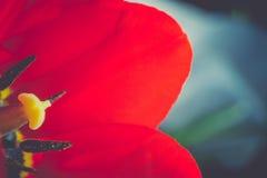 Red Tulip Macro Retro Stock Image