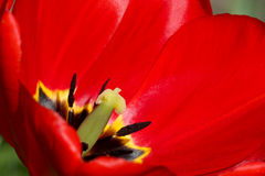 Red tulip Stock Image
