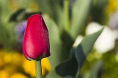 Red Tulip with morning dew Royalty Free Stock Photo
