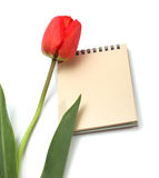 Red tulip and notepad. Isolated on white Stock Photography