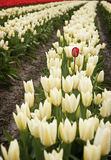 Red Tulip. One red tulip in a sea of white flowers Royalty Free Stock Images