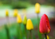 Red tulip among the others Royalty Free Stock Photo
