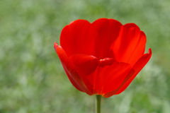 Red tulip over green Royalty Free Stock Image