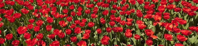 Red Tulip Panorama Royalty Free Stock Photos
