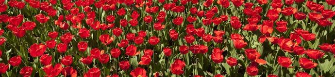 Red Tulip Panorama Royalty Free Stock Photos