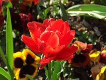 red-tulip-and-pansies Stock Photography