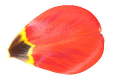 Red tulip petal close-up isolated on white background. Red tulip petal closeup isolated on white background stock photo
