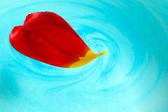 Red tulip petal in water. Red tulip petal in blue water royalty free stock images