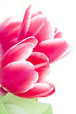 Red tulip petals Royalty Free Stock Images