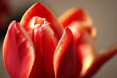 Red tulip petals Royalty Free Stock Image
