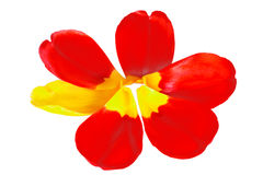 Red tulip petals with one yellow petal in shape of a flower Stock Image