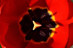 Red tulip petals opened in the spring Stock Photos