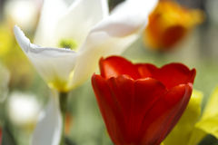 Red tulip petals Royalty Free Stock Photo