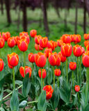 Red tulip. Stock Images