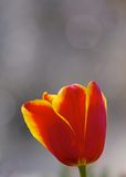 A red tulip Royalty Free Stock Photos