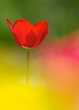 A red tulip Royalty Free Stock Images