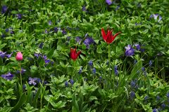 Red tulip and purple flowers on green royalty free stock photo