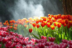 Red tulip in the rain. Red Tulip flowers foggy sprayed in the morning Stock Photos