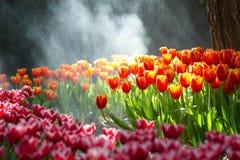 Red tulip in the rain Stock Photos