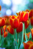 Red tulip in the rain Stock Photo