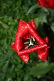 Red tulip in the rain Royalty Free Stock Photos