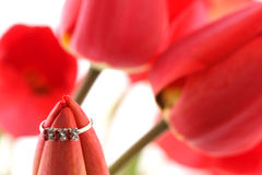 Red tulip with ring Stock Image