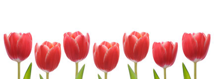 Red Tulip Row Stock Photography