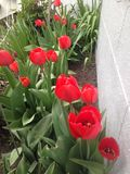 Red. Tulip in a row rising facing the sun Stock Photo