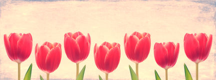Red Tulip Row Stock Images