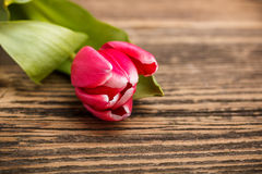 Red tulip Stock Photos
