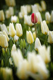 Red Tulip in a Sea of White Royalty Free Stock Images