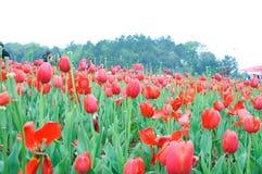 Red tulip shrubs in Chinese flower festival stock images
