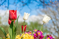 Red tulip. Single red tuluip with blurred white tulips in background royalty free stock images