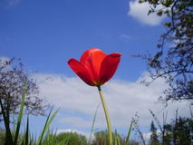 Red tulip on sky background. Red bright tulip flower on a Spring day standing out from other plants, trees and a light blue sky Royalty Free Stock Image