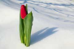 Red tulip on snow royalty free stock photo