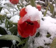 Red tulip and snow Royalty Free Stock Photography