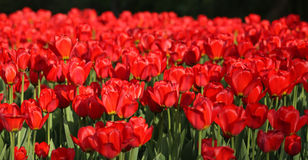 Red tulip at spring Stock Image
