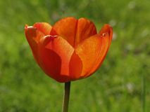 Red tulip in spring (back light) Stock Photo