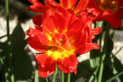 Red tulip in spring Royalty Free Stock Photos
