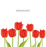 Red tulip spring card Royalty Free Stock Photo