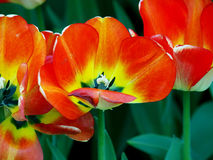 Red tulip. Royalty Free Stock Photo