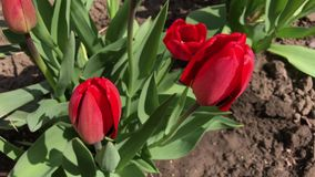 Red tulip in spring swaying in the wind. Top view stock video