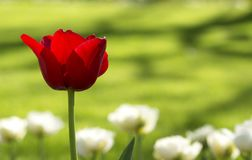 Red tulip in spring time Stock Photo